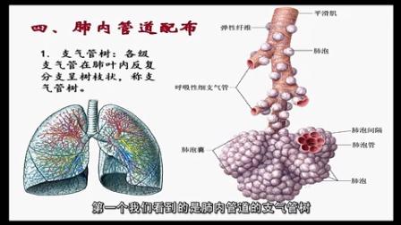 肺解剖结构示意图