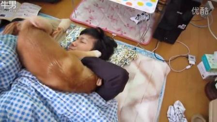 「狗闹钟」不让你睡! 柴犬舔脸咬手逼主人起床