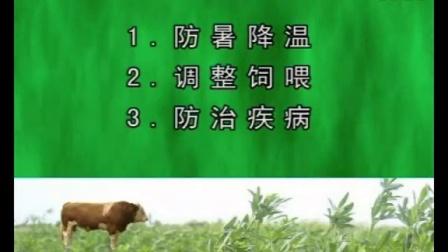一线肉牛养殖专家推荐夏季的肉牛高效饲养管理21视频
