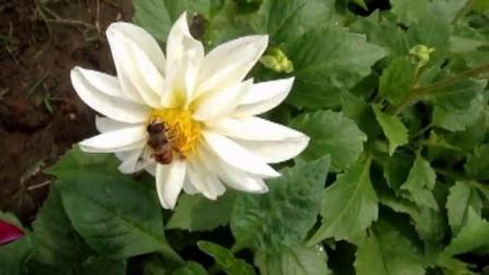 小蜜蜂采蜜忙图片