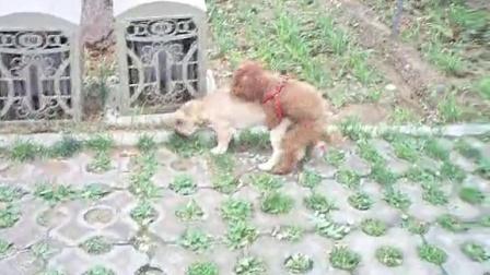 视频狗狗交配 狗狗搞笑视频笑死人不偿命