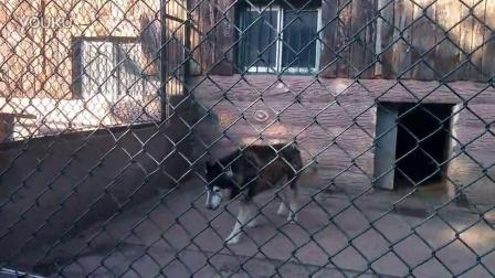 20141006-济南跑马岭野生动物园-各种狗-西伯利亚