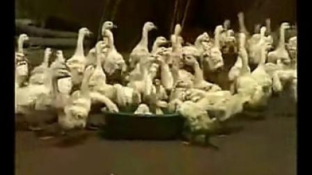 養鵝最新技術 搞好育雛舍用具墊料的消毒工作