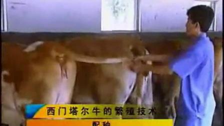 哪里有肉牛养殖场西门塔尔牛鲁西黄牛价格小牛犊价格多少视频