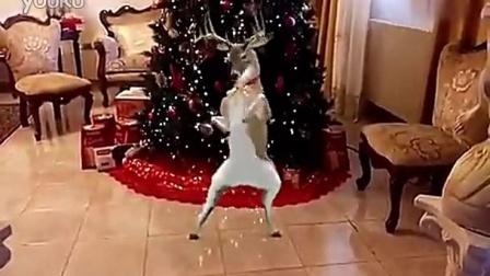 麋鹿欢乐跳圣诞舞 你不要圣诞爷爷了吗