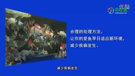 锦鲤鱼常见疾病,锦鲤鱼有病菌怎么治?家庭锦鲤养殖技术视频