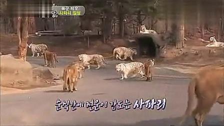 动物世界非洲水牛与狮子