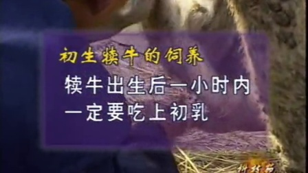 初生肉牛犊牛的饲养管理技术视频