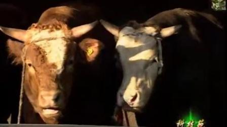 山地放养牛羊利润空间大肉牛放养技术视频
