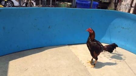 嘻猫斗鸡-两只六个月嫩鸡第一次开效,红泰黄缅风水球的水放多少图片