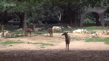 广州长隆野生动物园06骆驼