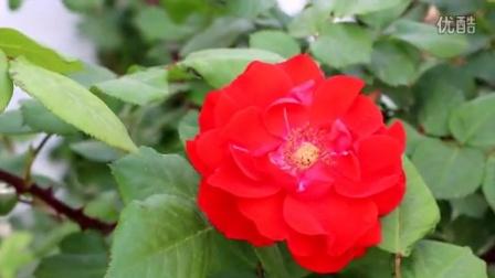 鲜花 玫瑰花