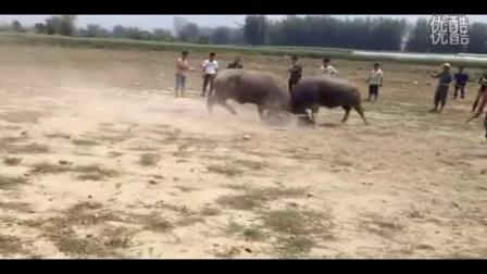 芒市德宏斗牛v黄金_-搞笑-3023黄金-3023.c视频新视频图片