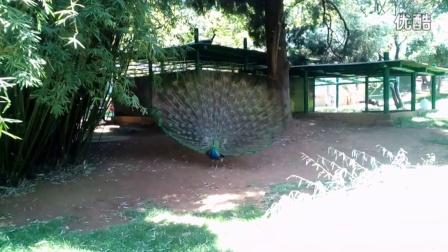 昆明动物园的孔雀开屏