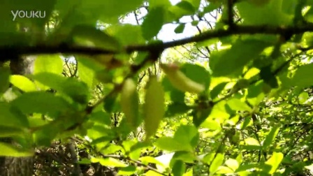 仿真植物樱桃树叶