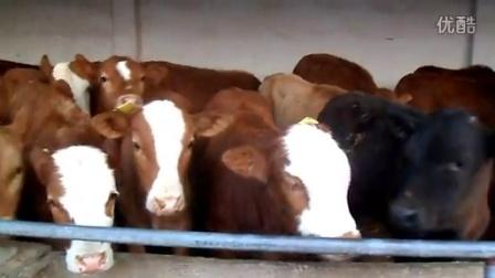 肉牛犊最新养殖养牛视频