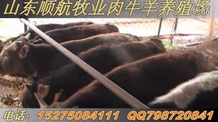 肉牛犊养殖视频