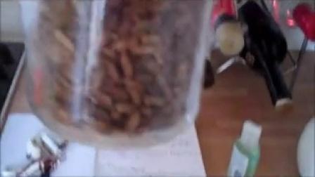 平菇颗粒菌种制作 菌丝体在粮食成长过程-技术简单_高清视频食用菌shiyongjun