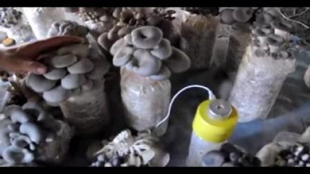 新平菇家庭养殖技术视频_标清视频食用菌shiyongjun