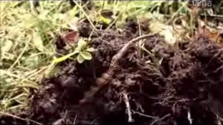 冬虫夏草生长实录-冬虫夏草是虫�是草_高清视频食用菌shiyongjun