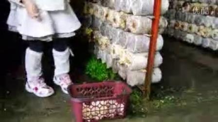 �S年生�B�r�稣�香�K摘香菇是什么季节摘-录像_高清视频食用菌shiyongjun