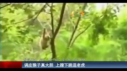 调皮猴子上窜下跳逗老虎 拽尾巴马上逃走