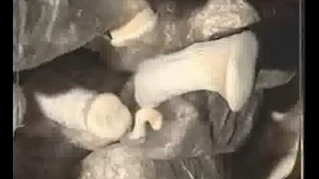 白灵菇制种栽培技术可行性之白灵菇栽培技术_高清视频食用菌shiyongjun