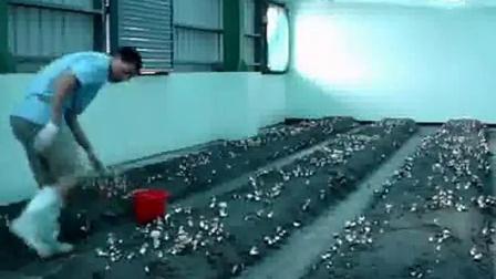 巴西蘑菇大棚种植高产栽培技术_高清视频食用菌shiyongjun