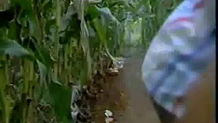 平菇 木耳的相同点和不同点之玉米地平菇木耳立体种植技�c,食用菌shiyongjun
