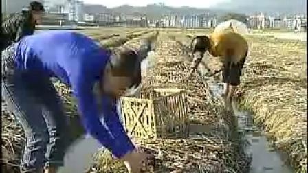 大球盖菇栽培技术及与毛木耳视�c,食用菌shiyongjun