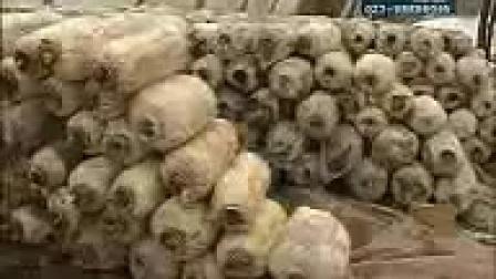 全国食用菌技术免费食用菌培训技术之平菇菌种专利快速出菇新技�c,食用菌shiyongjun