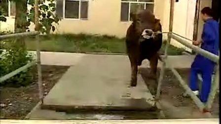 公益:新疆褐牛养殖技术视频
