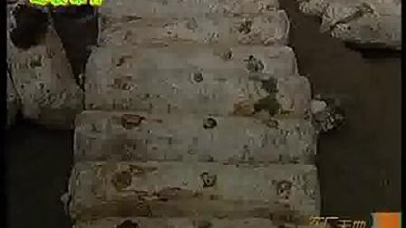 灰树花的栽培及胡桃肉视频食用菌shiyongjun