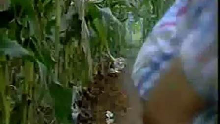 玉米地套种平菇及椴木灵芝孢子粉视�c,食用菌shiyongjun