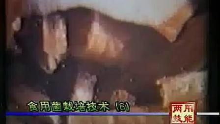 平菇和凤尾菇栽培技及姬松茸视频食用菌shiyongjun