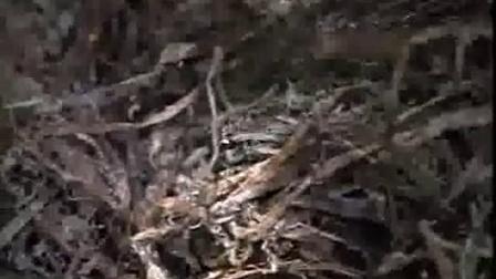 蘑菇栽培及鸡油菌视频食用菌shiyongjun