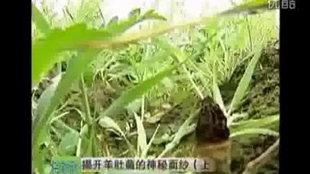羊肚菌种植技术及大球盖菇视频食用菌shiyongjun