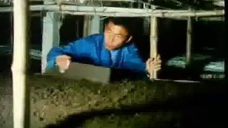 玉米秸秆栽培双孢蘑菇菌种技�c,食用菌shiyongjun