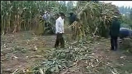 玉米秸秆青贮饲料养羊技术致富经养牛_标清视频