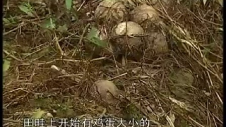 竹荪栽培新技术食用菌工厂化栽��,食用菌shiyongjun