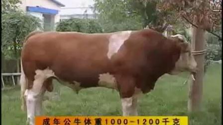 湖北肉牛养殖视频
