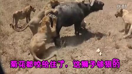 动物世界 狮子与长颈鹿