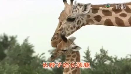 宝宝初看世界 看长颈鹿