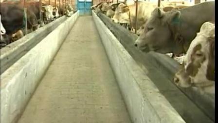 肉牛的饲养与管理视频