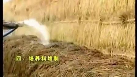 蘑菇露地栽培的技术及鸡腿菇图片视频之蘑菇露地栽培的技�c,食用菌shiyongjun