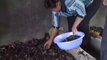 农业好项目天麻种植技术培育天麻蜜环菌技术教程_1食用菌shiyongjun
