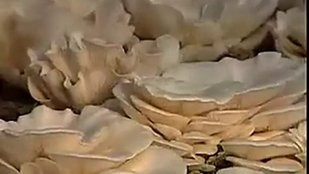 创业好项目白平菇鲍鱼菇高产种植技术之鲍鱼菇高产种植技�c,食用菌shiyongjun