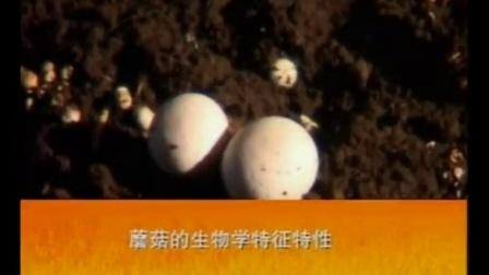 创业小项目废弃矿洞种蘑菇之立体种植高产栽培技�c,食用菌shiyongjun