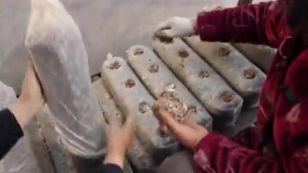小本投资创业袋料香菇种植技术_2之袋料香菇菌种的生产食用菌shiyongjun