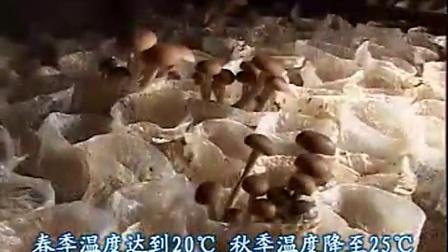 农业科技全国食用菌茶树菇立体种植高产栽培技�c,食用菌shiyongjun